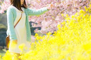 桜と菜の花と女の子の写真・画像素材[1777714]