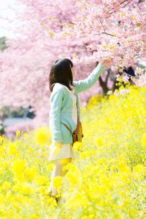 桜と菜の花と女の子の写真・画像素材[1777715]