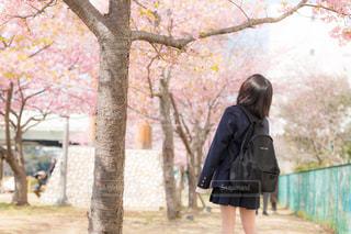桜咲く並木道で桜を見上げる女子高生の写真・画像素材[1777739]