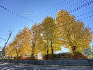黄色に色づいたイチョウのある公園の写真・画像素材[3994398]