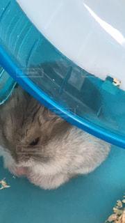 寝てるハムスターの写真・画像素材[976334]