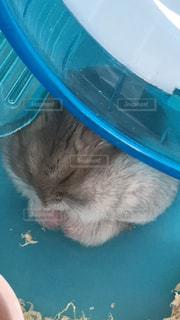 ハムスター寝てるの写真・画像素材[976335]