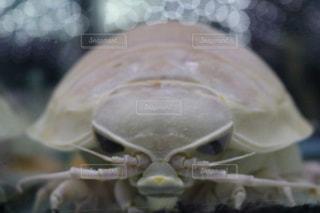 ダイオウグソクムシの顔の写真・画像素材[978855]