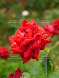 赤い薔薇の写真・画像素材[991576]