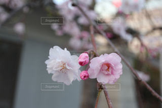 神社の桜の写真・画像素材[1088139]