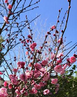 木の枝にピンクの花いっぱいの写真・画像素材[979944]
