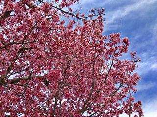 ピンクの花の木の写真・画像素材[1058573]