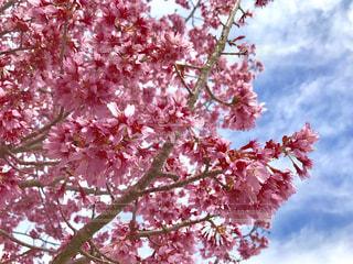 ピンクの花の木の写真・画像素材[1058574]