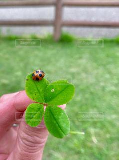 てんとう虫とクローバーの写真・画像素材[1176384]