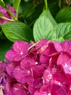 紫陽花の上のカマキリの写真・画像素材[1263101]