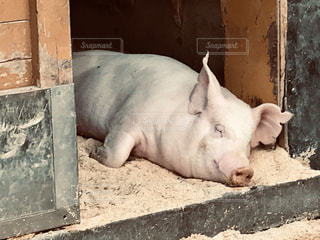 気持ちよさそうに寝てる豚の写真・画像素材[1981438]