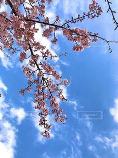 冬空の早咲き桜の写真・画像素材[2975109]