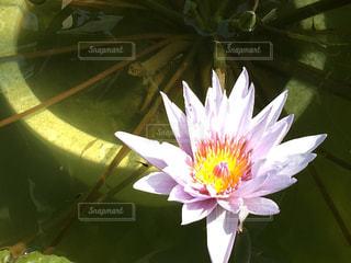 蓮の花の写真・画像素材[978942]