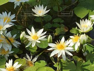 蓮の花の写真・画像素材[978945]