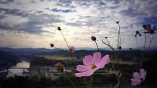 コスモスと空と。の写真・画像素材[981687]
