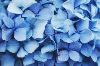 紫陽花の写真・画像素材[979351]