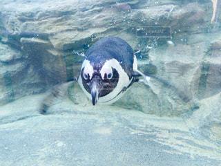 泳ぐペンギンの写真・画像素材[979620]