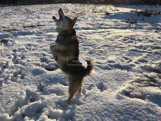 雪の中でジャンプする犬の写真・画像素材[984585]