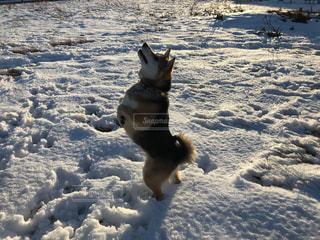 雪で覆われている犬の写真・画像素材[984586]