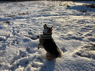 雪で覆われている犬の写真・画像素材[984587]