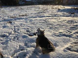 雪で覆われている犬の写真・画像素材[984588]