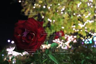 情熱の赤い薔薇の写真・画像素材[983871]