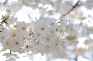 満開の桜の写真・画像素材[981320]