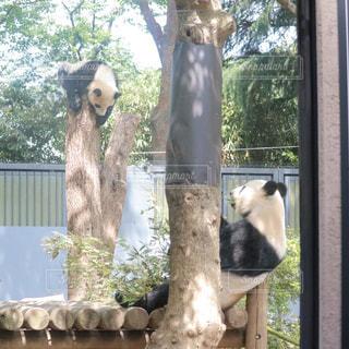 パンダの親子の写真・画像素材[1171133]