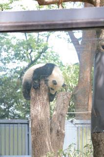昼寝するパンダの写真・画像素材[1171134]