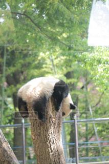 動物園のエンクロージャでパンダのクマの写真・画像素材[1171135]