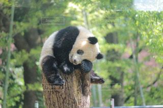 動物園のパンダの写真・画像素材[1171136]