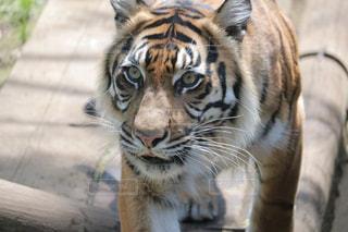 虎の写真・画像素材[1171137]