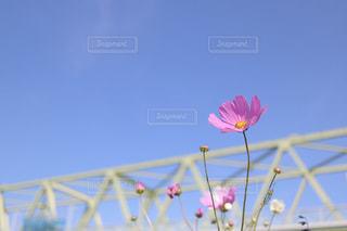 夏咲きのコスモスの写真・画像素材[1225996]