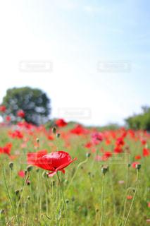 赤いポピーの写真・画像素材[1225997]