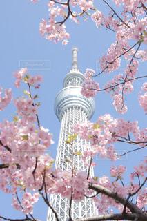 河津桜とスカイツリーの写真・画像素材[1835098]