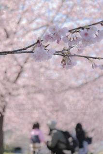 満開の河津桜の写真・画像素材[1842539]