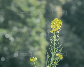 菜の花の写真・画像素材[2933984]