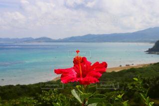 水の上の赤い花の写真・画像素材[1162713]