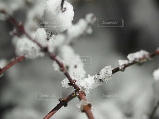 木の枝の雪の写真・画像素材[982962]