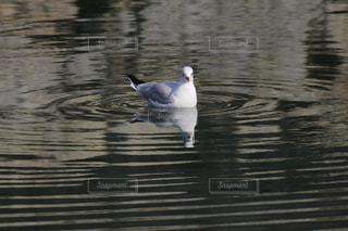 水の中を泳ぐ鳥の写真・画像素材[999084]