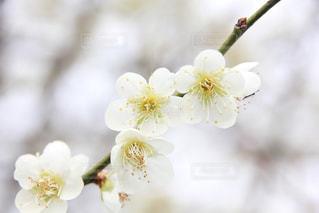 白い梅の花の写真・画像素材[1071673]