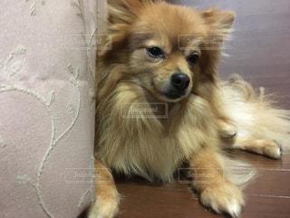 ベッドの上に横たわる大きな茶色の犬の写真・画像素材[999373]