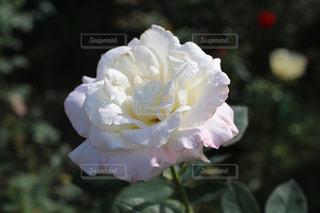 薔薇の写真・画像素材[985573]