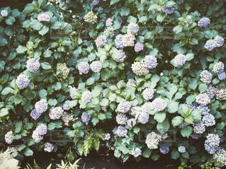 水辺の紫陽花の写真・画像素材[983998]
