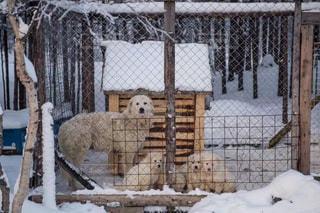 フェンスで囲まれた領域に羊のグループの写真・画像素材[1001508]