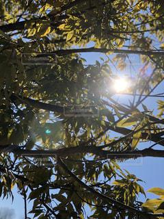 木の隙間から覗く太陽の光の写真・画像素材[984254]