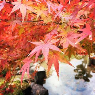 満開の秋の写真・画像素材[984280]
