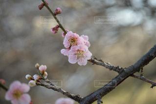 ピンクの梅の写真・画像素材[1059010]