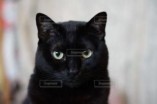 黒猫のまなざしの写真・画像素材[985268]