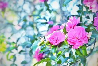 キラキラした薔薇の写真・画像素材[985671]